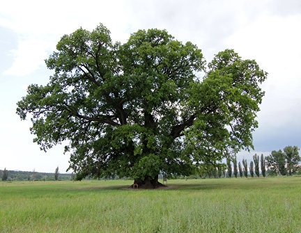 The Suvorov Oak