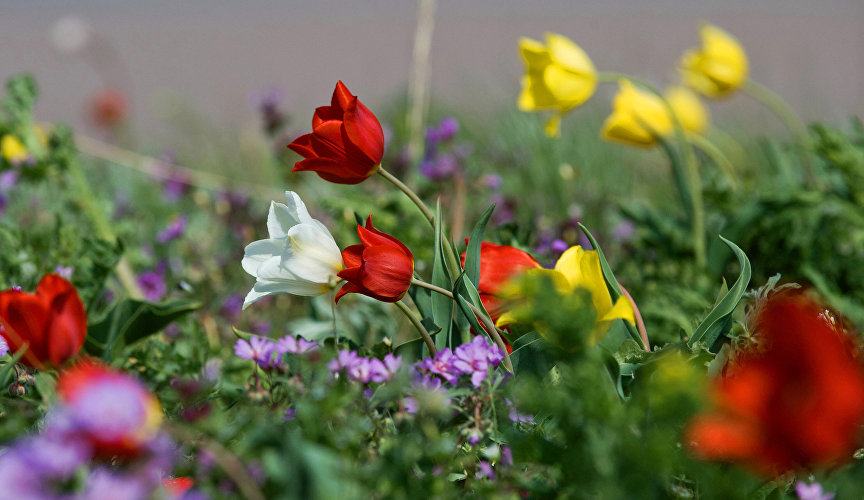 Red-and-yellow blankets of Schrenk's tulips and Scythian tulips, which are included in the Russian Red Data Book, sweeping across a vast steppe in the nature reserve