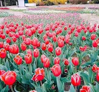 A virtual walk among tulips: what blooms in the Nikitsky Botanical Garden