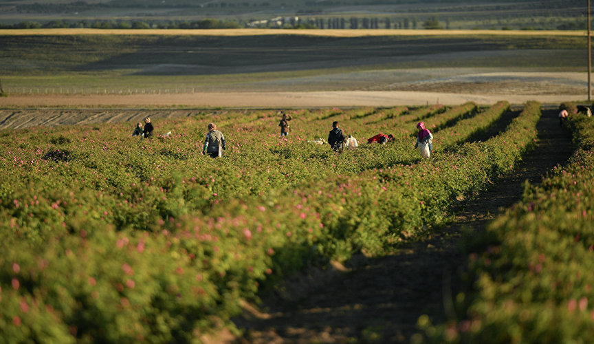 Rose picking in Crimea