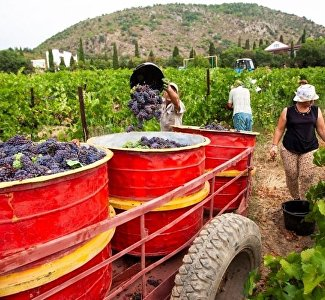 In the rhythm of Celentano: in Crimea you can participate in the harvesting of grapes and winemaking