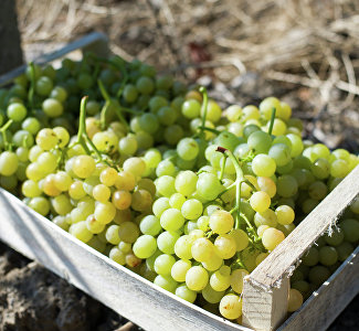 It is delicious to watch: how the grapes is gathered in Crimea