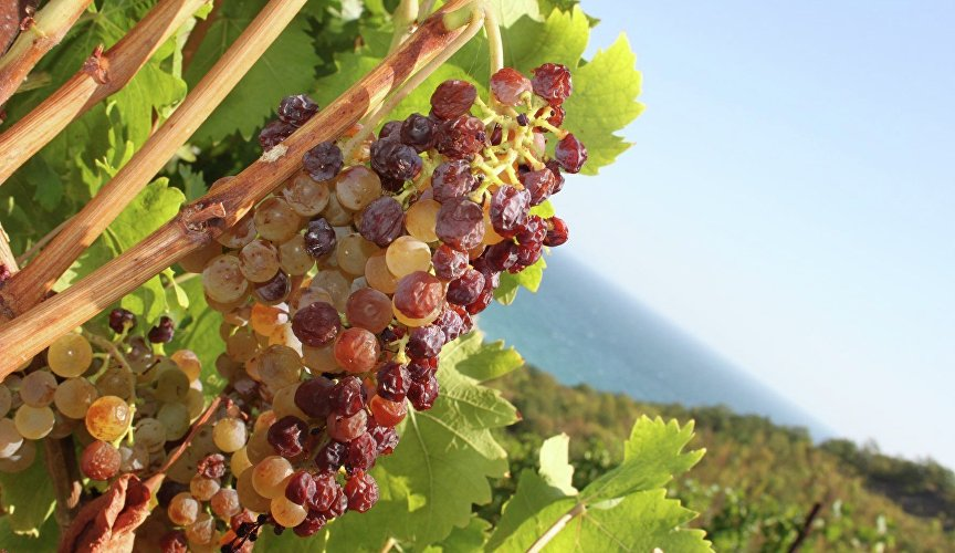 Grapes in the Massandra vineyards
